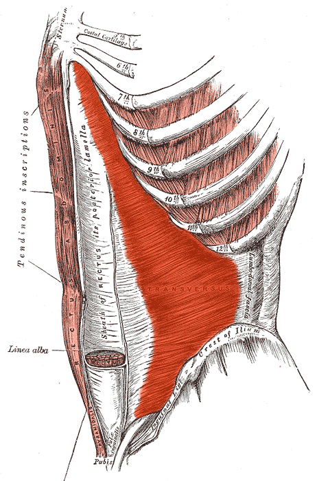 Muscle Transverse 3S
